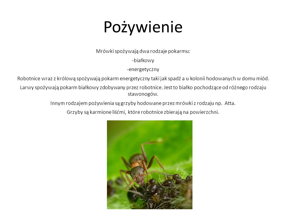 Pożywienie Mrówki spożywają dwa rodzaje pokarmu: -białkowy