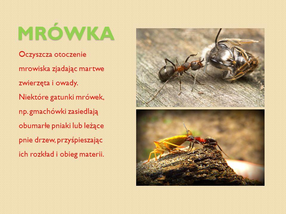Mrówka Oczyszcza otoczenie mrowiska zjadając martwe zwierzęta i owady.