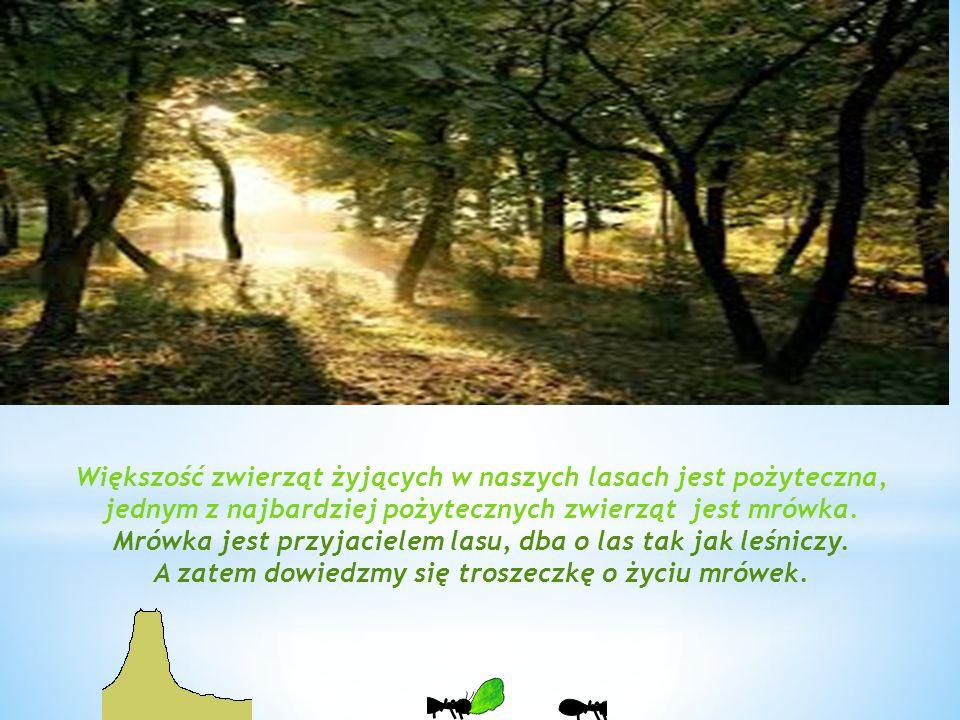 Mrówka jest przyjacielem lasu, dba o las tak jak leśniczy.