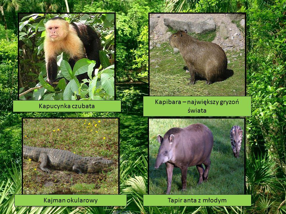 Kapibara – największy gryzoń świata