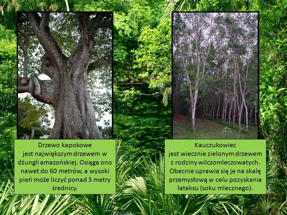 Drzewo kapokowe jest największym drzewem w dżungli amazońskiej