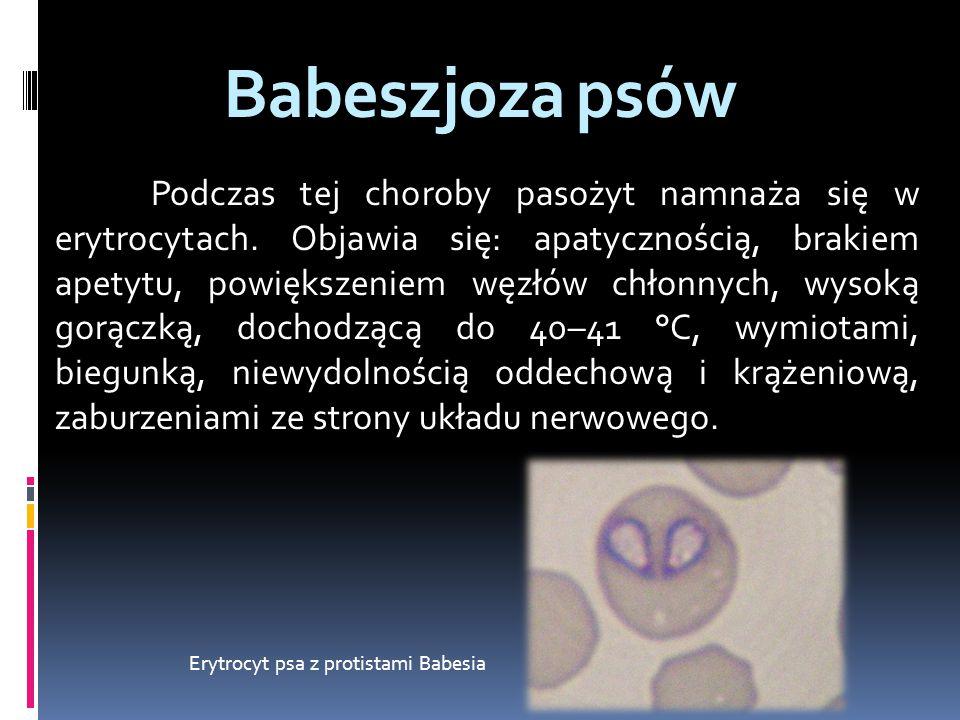 Erytrocyt psa z protistami Babesia