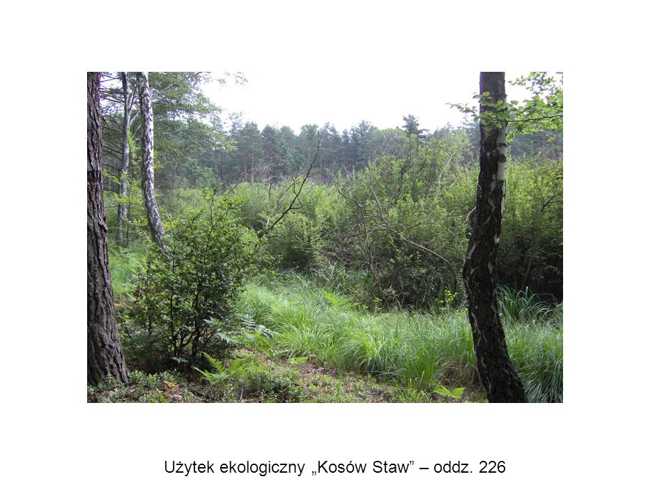 """Użytek ekologiczny """"Kosów Staw – oddz. 226"""