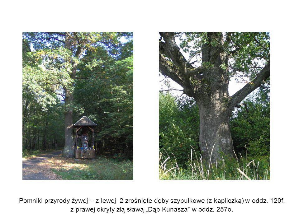 Pomniki przyrody żywej – z lewej 2 zrośnięte dęby szypułkowe (z kapliczką) w oddz.
