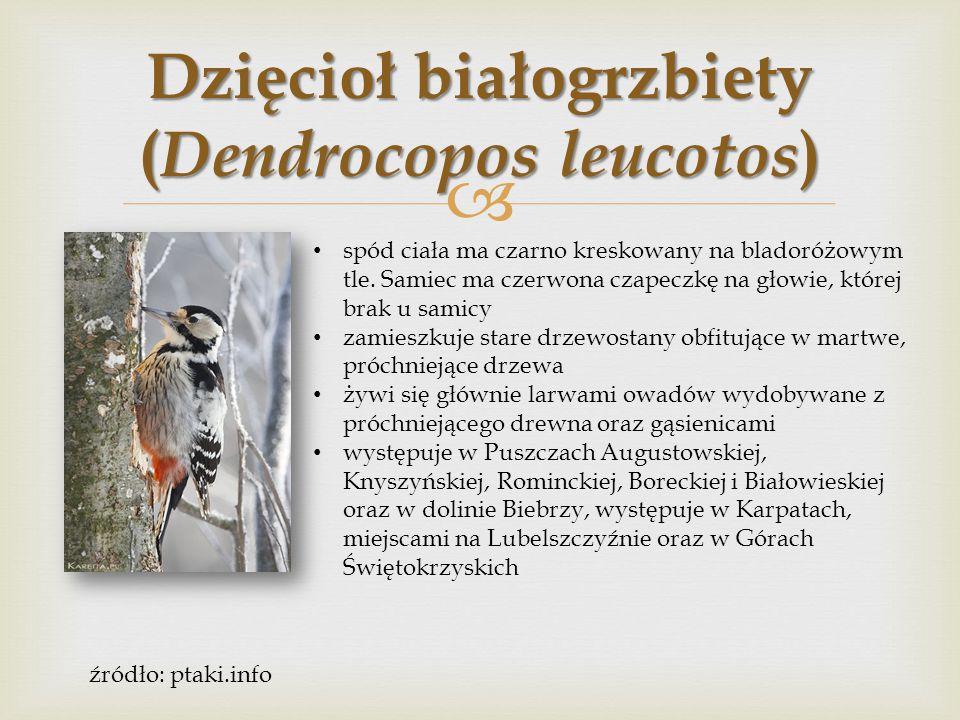 Dzięcioł białogrzbiety (Dendrocopos leucotos)