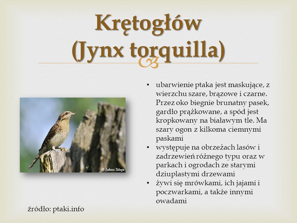 Krętogłów (Jynx torquilla)