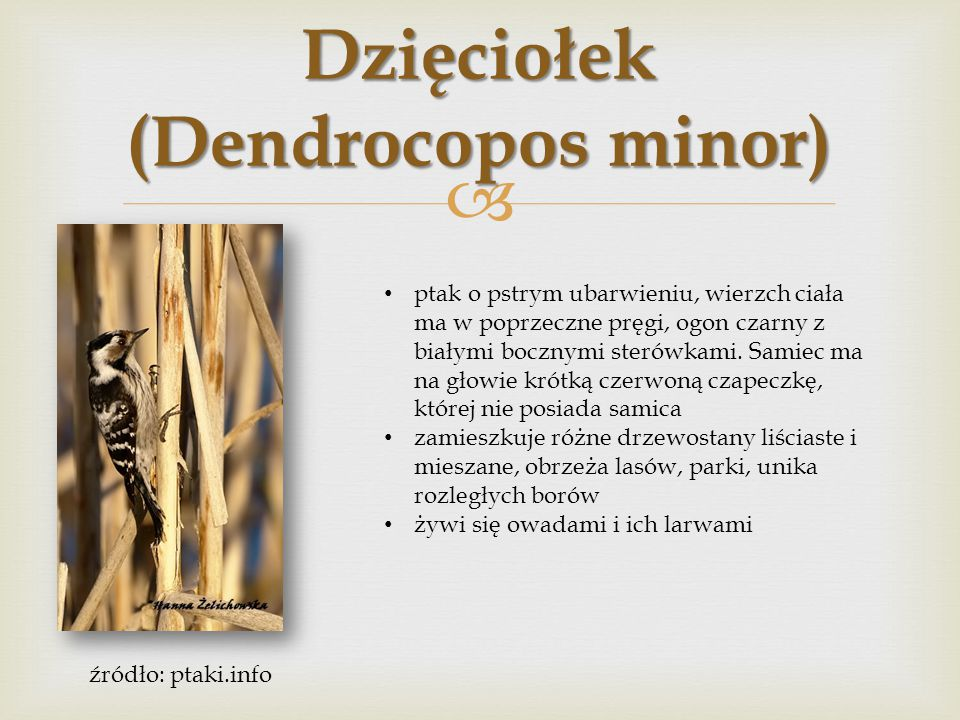 Dzięciołek (Dendrocopos minor)