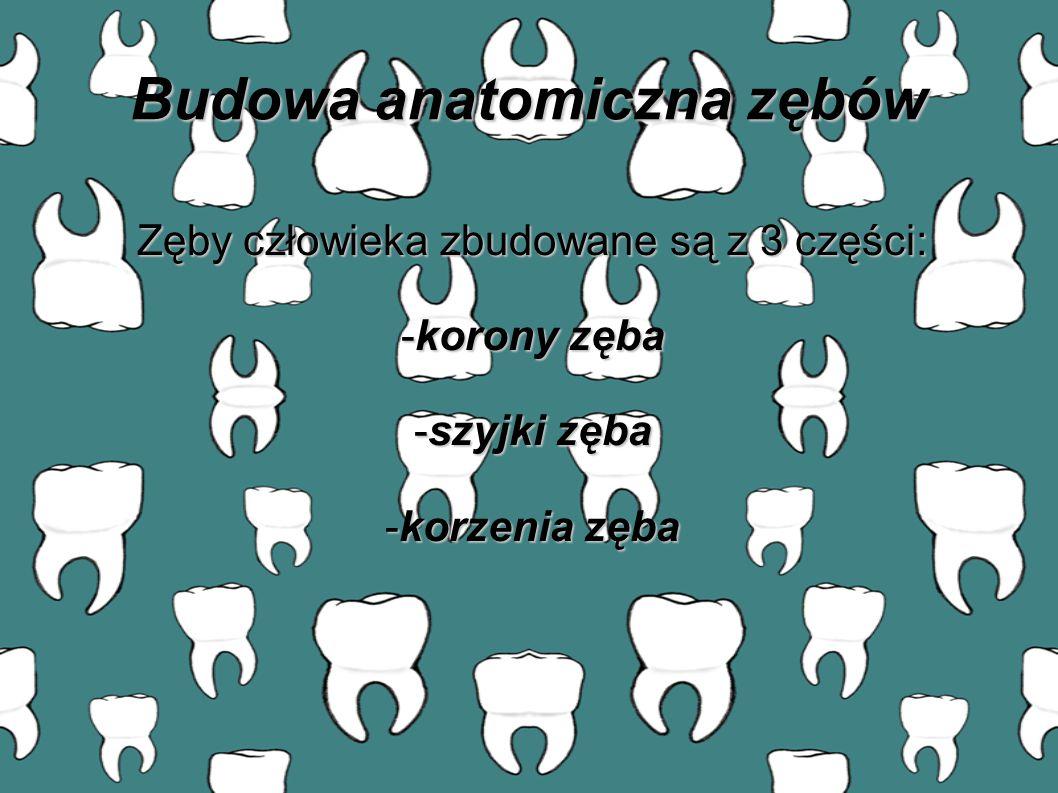 Budowa anatomiczna zębów