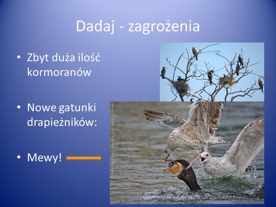 Dadaj - zagrożenia Zbyt duża ilość kormoranów