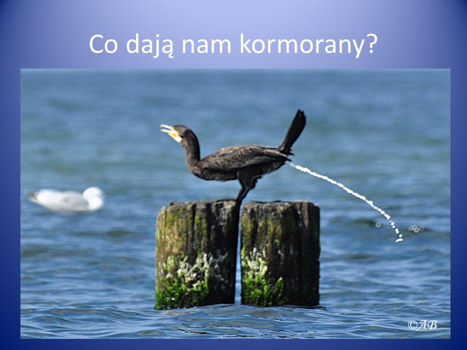 Co dają nam kormorany