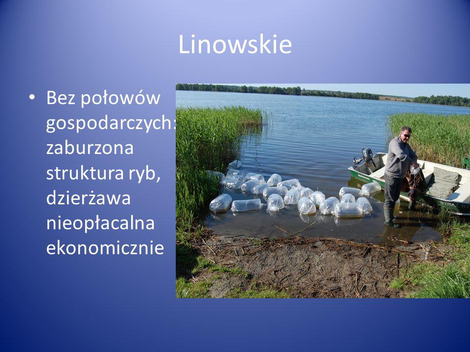 Linowskie Bez połowów gospodarczych: zaburzona struktura ryb, dzierżawa nieopłacalna ekonomicznie