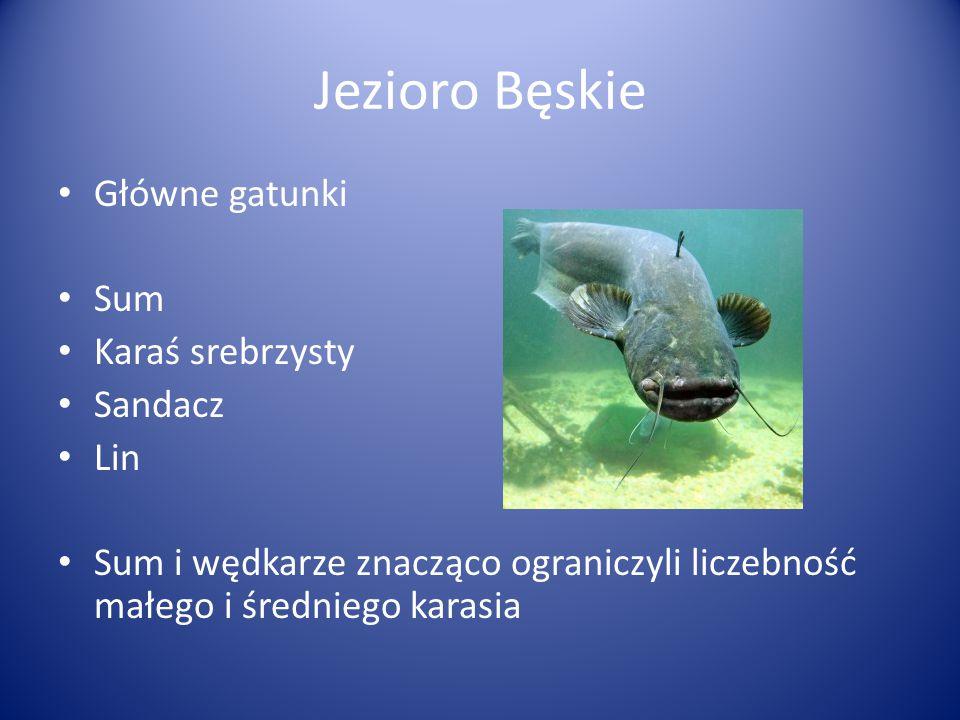 Jezioro Bęskie Główne gatunki Sum Karaś srebrzysty Sandacz Lin