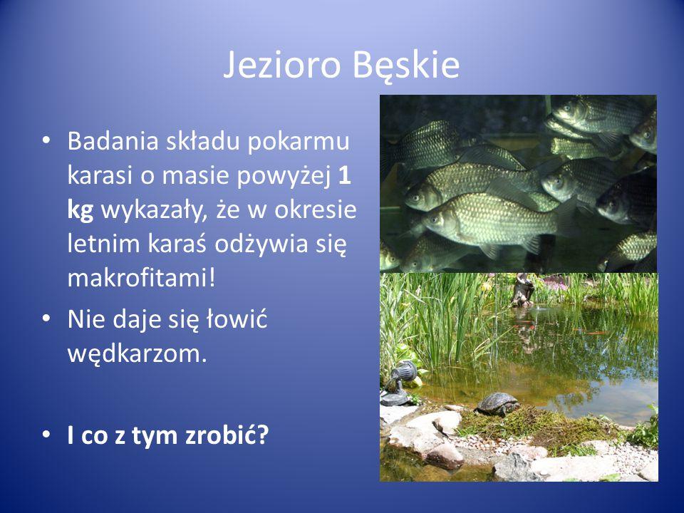 Jezioro Bęskie Badania składu pokarmu karasi o masie powyżej 1 kg wykazały, że w okresie letnim karaś odżywia się makrofitami!