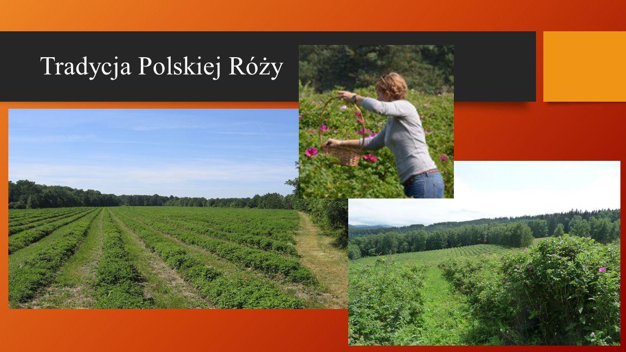Tradycja Polskiej Róży