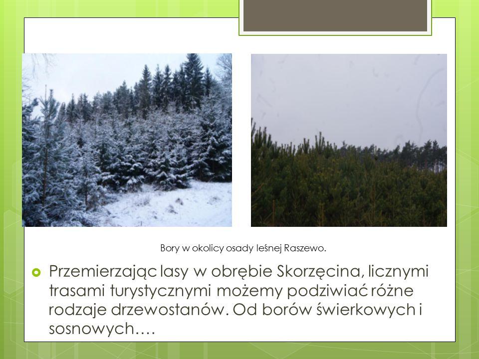 Bory w okolicy osady leśnej Raszewo.