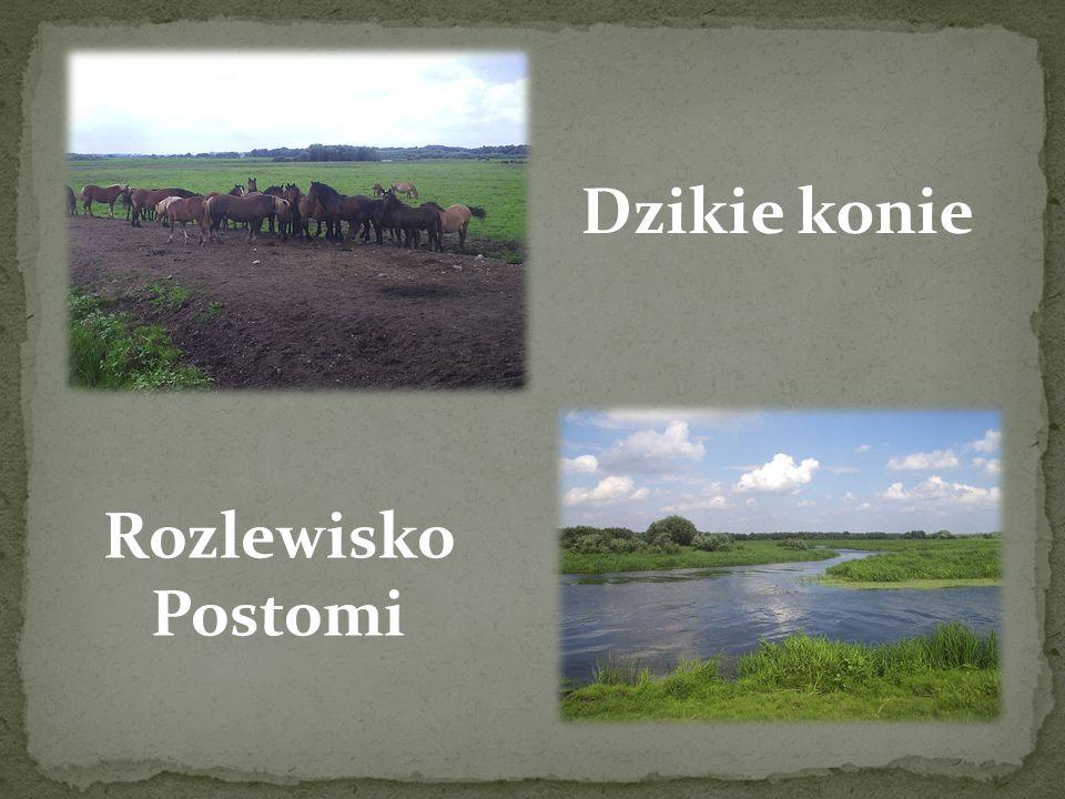 Dzikie konie Rozlewisko Postomi