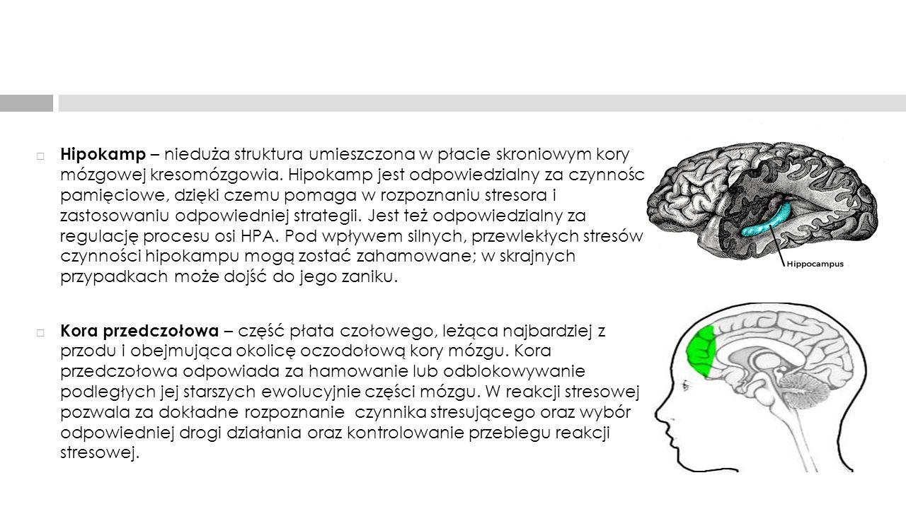 Hipokamp – nieduża struktura umieszczona w płacie skroniowym kory mózgowej kresomózgowia. Hipokamp jest odpowiedzialny za czynności pamięciowe, dzięki czemu pomaga w rozpoznaniu stresora i zastosowaniu odpowiedniej strategii. Jest też odpowiedzialny za regulację procesu osi HPA. Pod wpływem silnych, przewlekłych stresów czynności hipokampu mogą zostać zahamowane; w skrajnych przypadkach może dojść do jego zaniku.