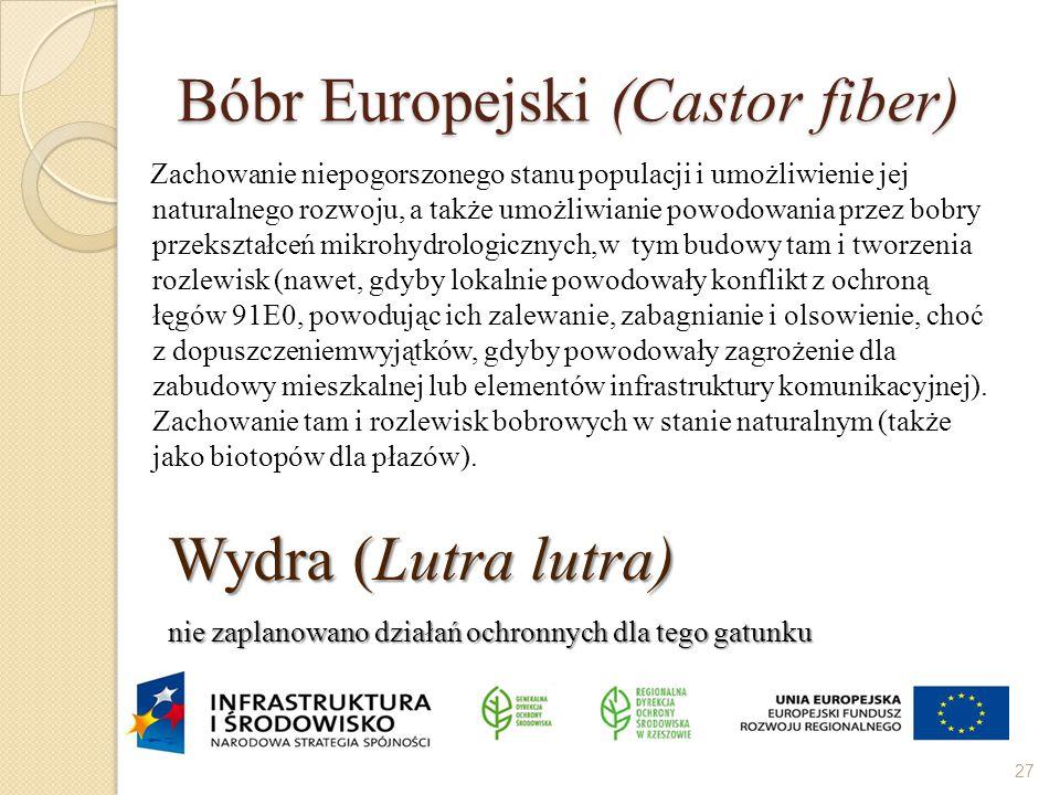 Bóbr Europejski (Castor fiber)