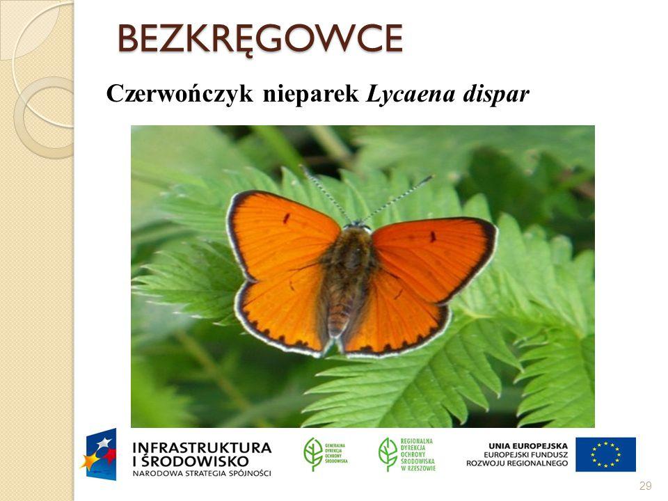 BEZKRĘGOWCE Czerwończyk nieparek Lycaena dispar Motyl łąkowy