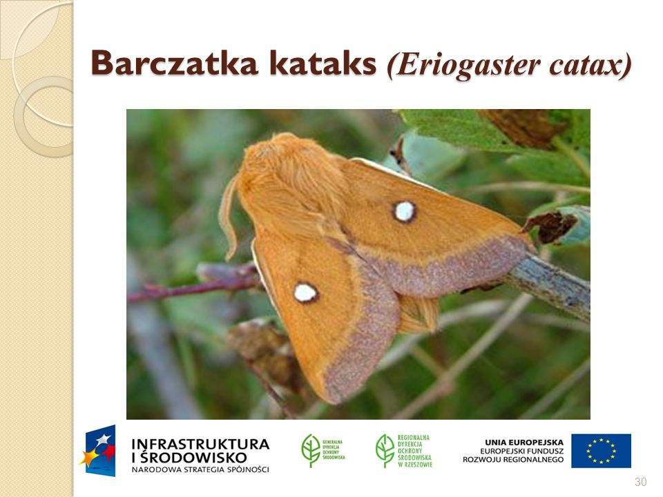 Barczatka kataks (Eriogaster catax)