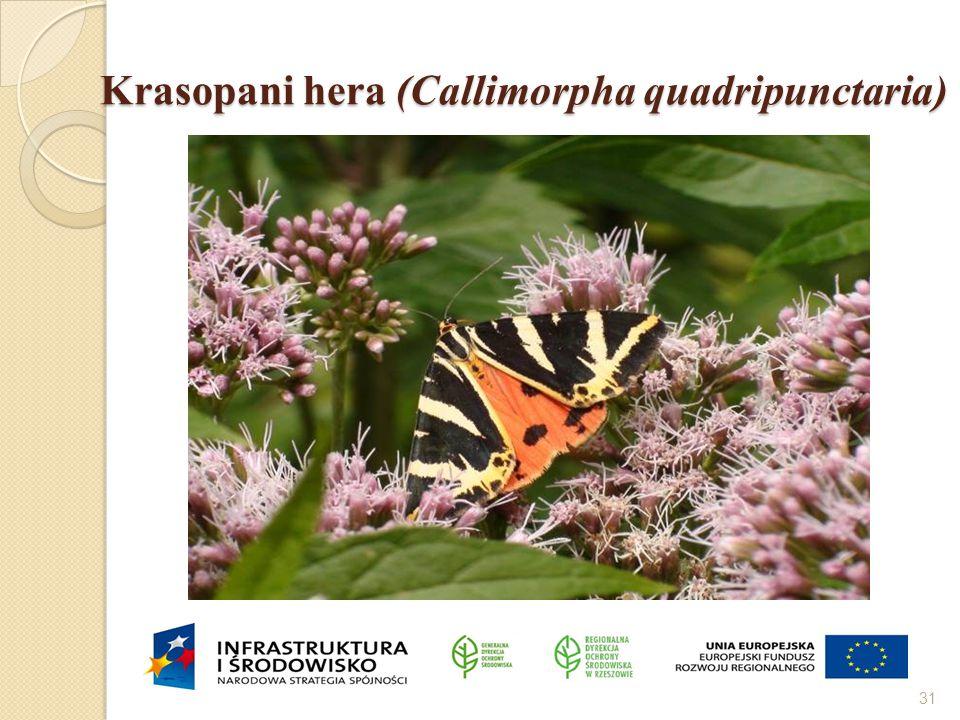 Krasopani hera (Callimorpha quadripunctaria)