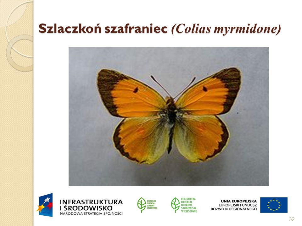 Szlaczkoń szafraniec (Colias myrmidone)