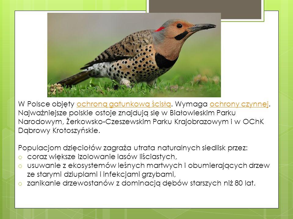 W Polsce objęty ochroną gatunkową ścisłą. Wymaga ochrony czynnej