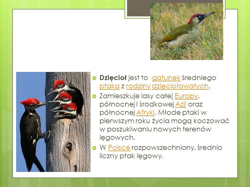 Dzięcioł jest to gatunek średniego ptaka z rodziny dzięciołowatych.