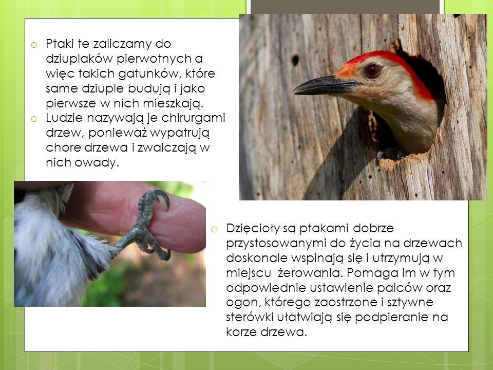 Ptaki te zaliczamy do dziuplaków pierwotnych a więc takich gatunków, które same dziuple budują i jako pierwsze w nich mieszkają.