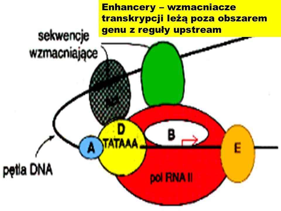 Enhancery – wzmacniacze transkrypcji leżą poza obszarem genu z reguły upstream