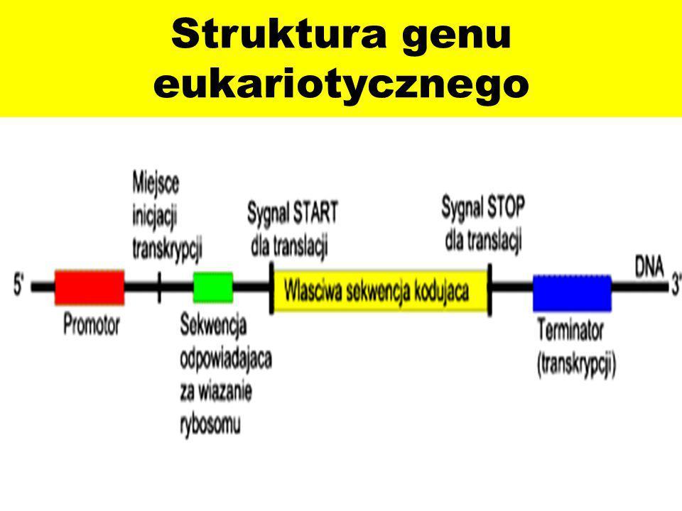 Struktura genu eukariotycznego