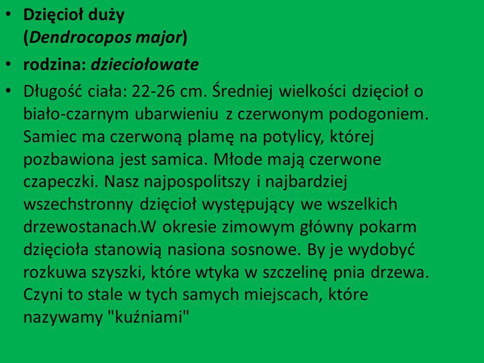 Dzięcioł duży (Dendrocopos major)