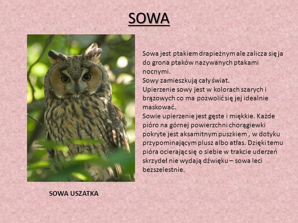 SOWA Sowa jest ptakiem drapieżnym ale zalicza się ja do grona ptaków nazywanych ptakami nocnymi. Sowy zamieszkują cały świat.