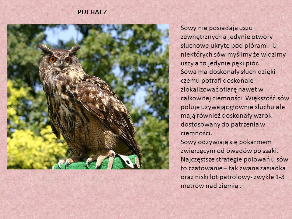 PUCHACZ