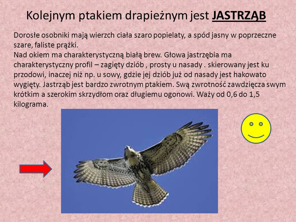 Kolejnym ptakiem drapieżnym jest JASTRZĄB