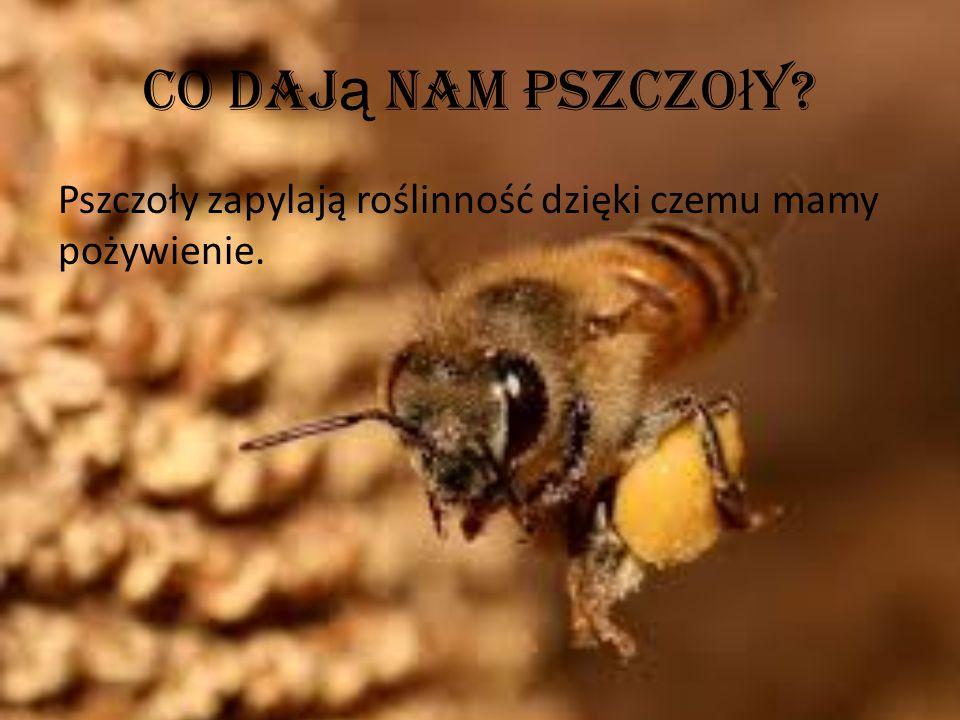 Co dają nam pszczoły Pszczoły zapylają roślinność dzięki czemu mamy pożywienie.