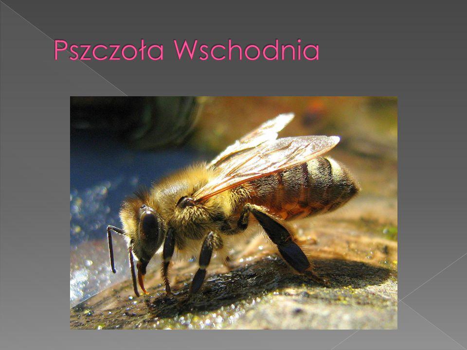 Pszczoła Wschodnia