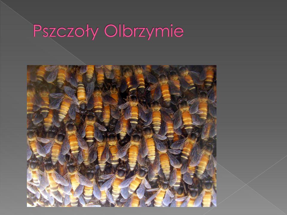 Pszczoły Olbrzymie