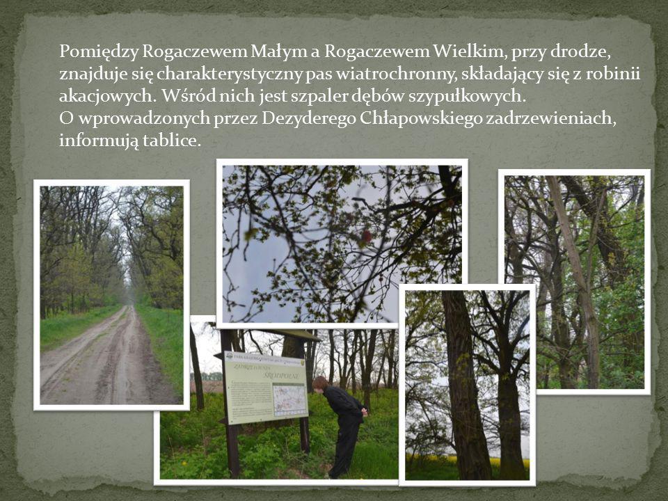 Pomiędzy Rogaczewem Małym a Rogaczewem Wielkim, przy drodze, znajduje się charakterystyczny pas wiatrochronny, składający się z robinii akacjowych. Wśród nich jest szpaler dębów szypułkowych.