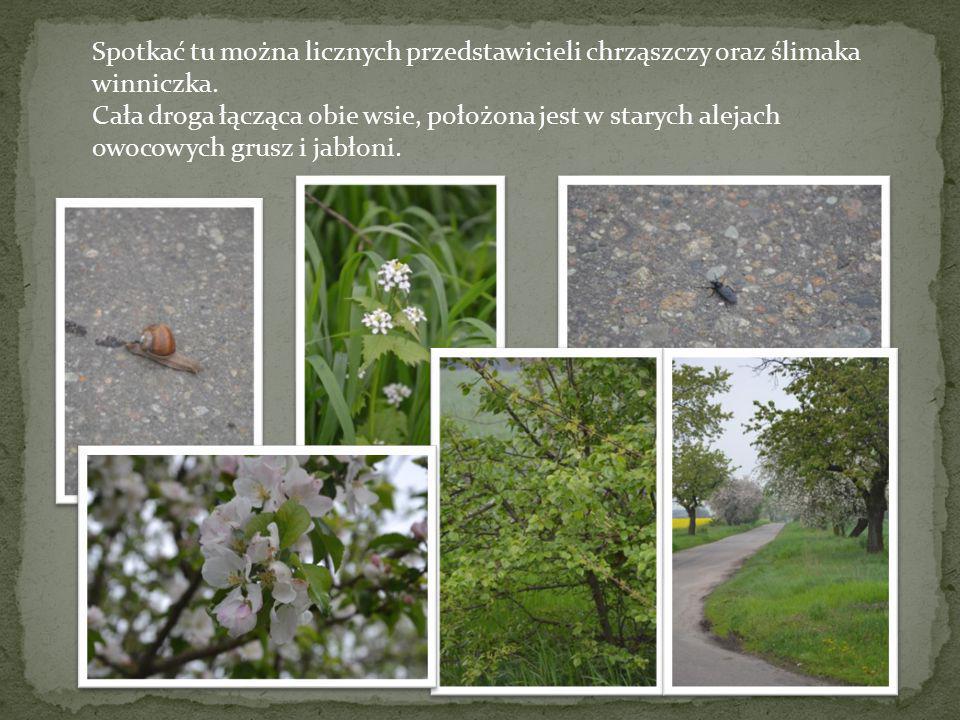 Spotkać tu można licznych przedstawicieli chrząszczy oraz ślimaka winniczka.
