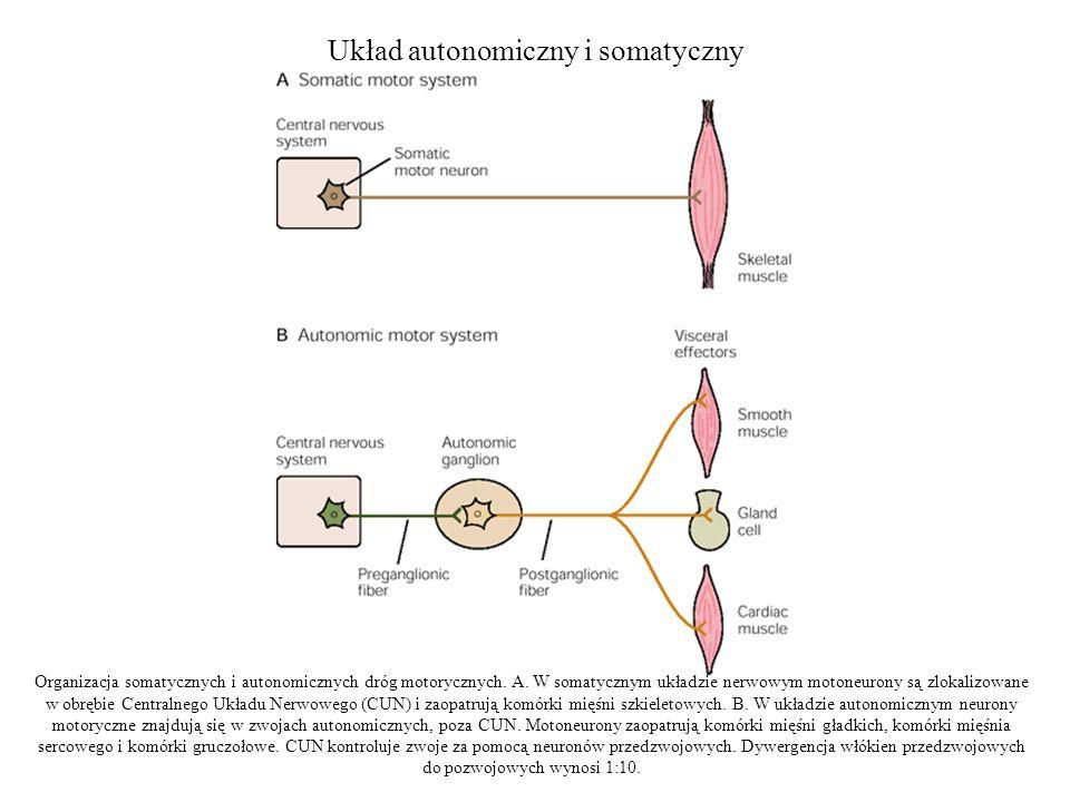 Układ autonomiczny i somatyczny