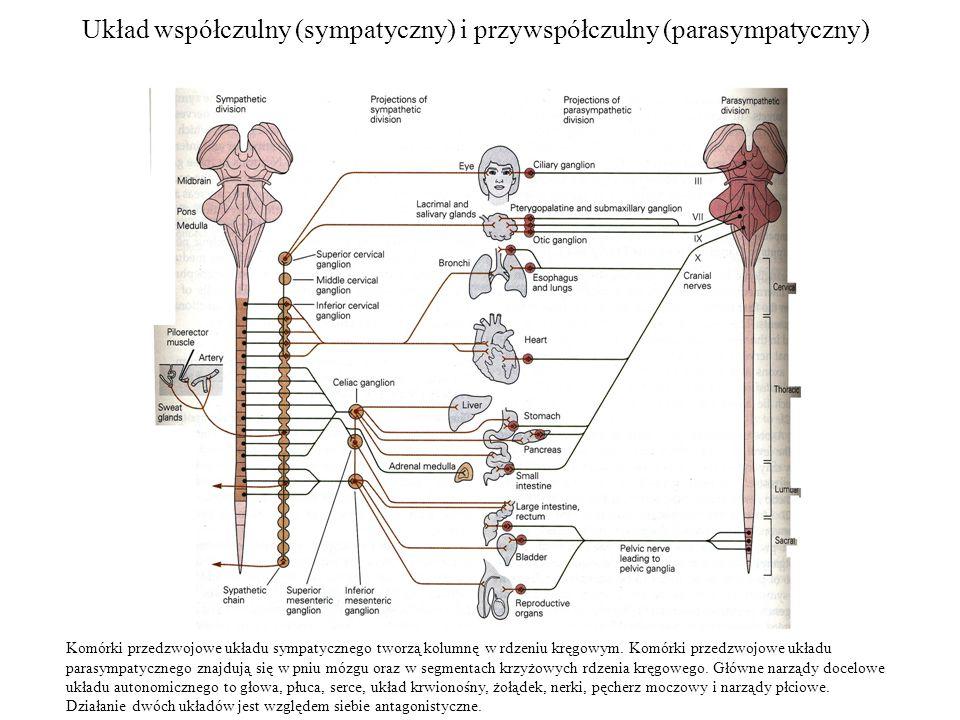 Układ współczulny (sympatyczny) i przywspółczulny (parasympatyczny)
