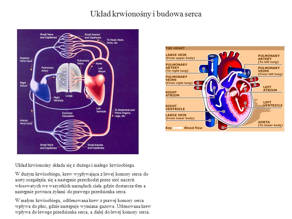 Układ krwionośny i budowa serca