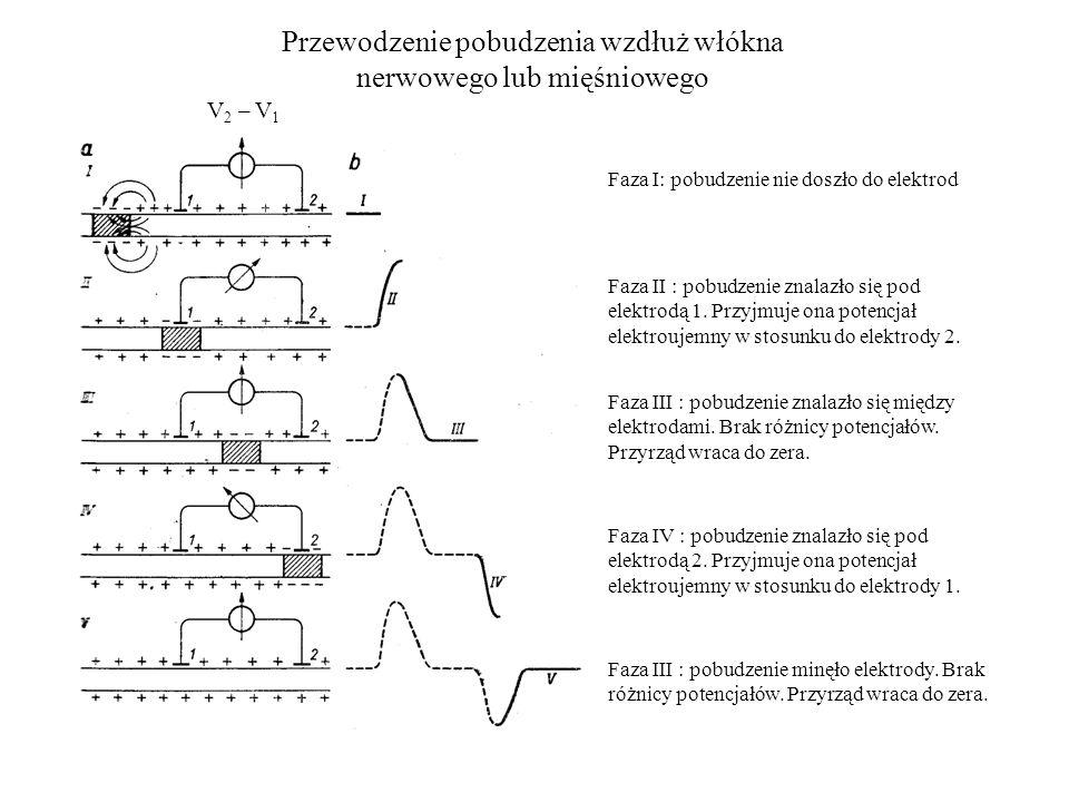 Przewodzenie pobudzenia wzdłuż włókna nerwowego lub mięśniowego