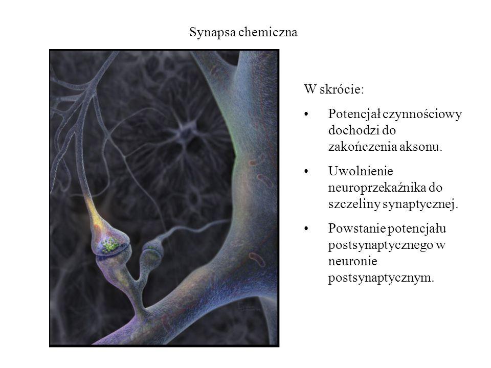 Synapsa chemiczna W skrócie: Potencjał czynnościowy dochodzi do zakończenia aksonu. Uwolnienie neuroprzekaźnika do szczeliny synaptycznej.