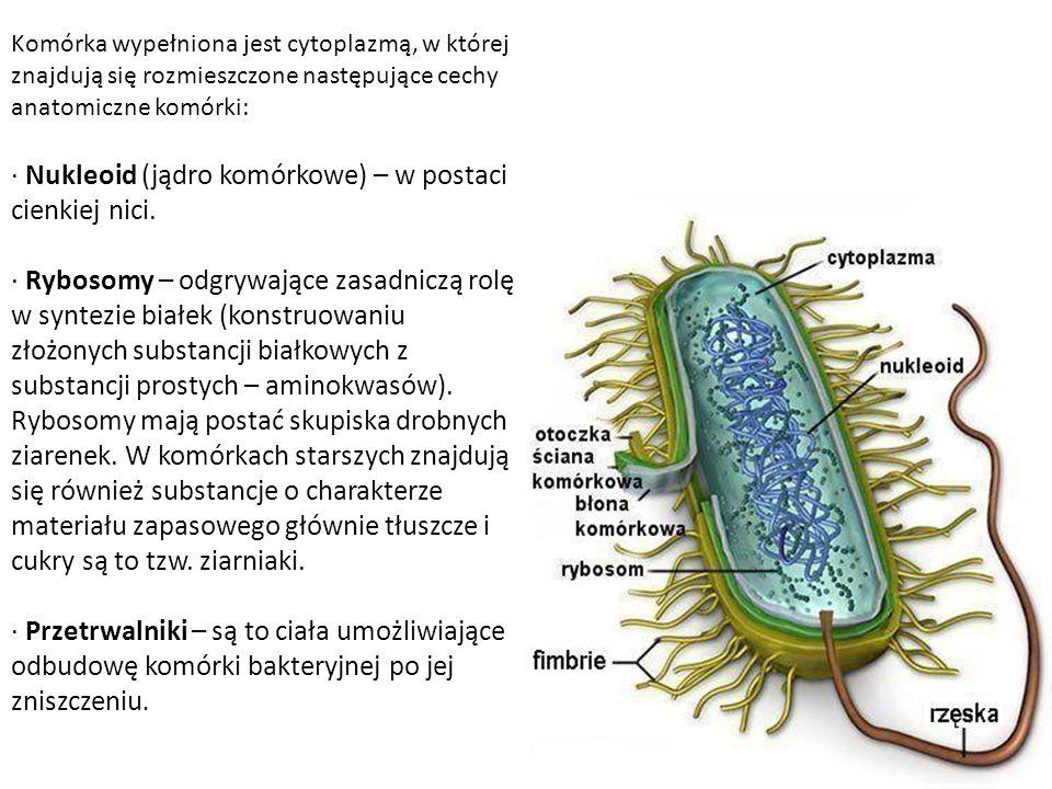 · Nukleoid (jądro komórkowe) – w postaci cienkiej nici.