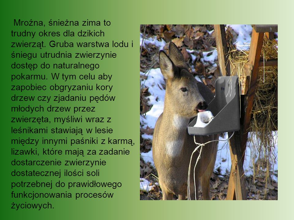 Mroźna, śnieżna zima to trudny okres dla dzikich zwierząt