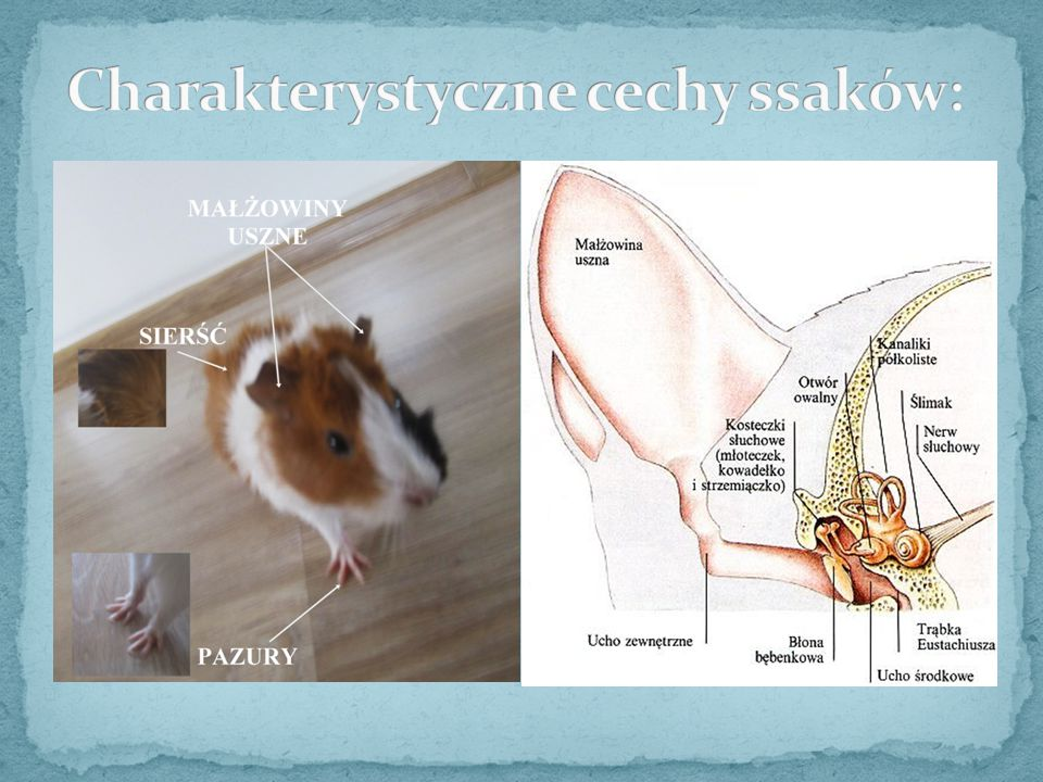 Charakterystyczne cechy ssaków: