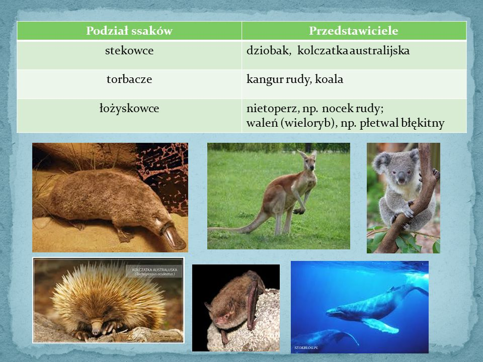 Podział ssaków Przedstawiciele. stekowce. dziobak, kolczatka australijska. torbacze. kangur rudy, koala.