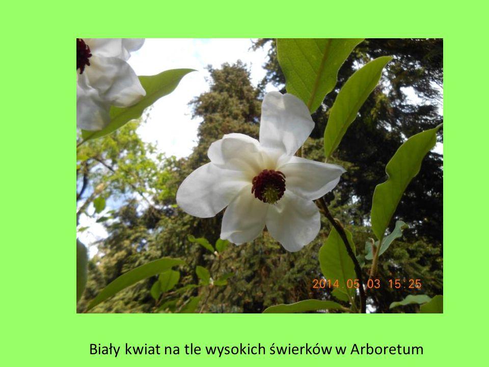 Biały kwiat na tle wysokich świerków w Arboretum